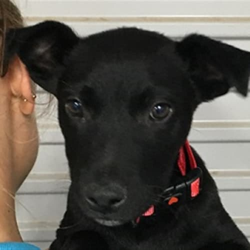 Lance - Kelpie x Australian Cattledog