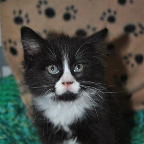 Bert - Persian x Domestic Medium Hair Cat