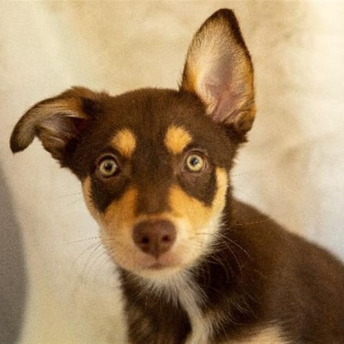 Dusty - Border Collie x Kelpie Dog