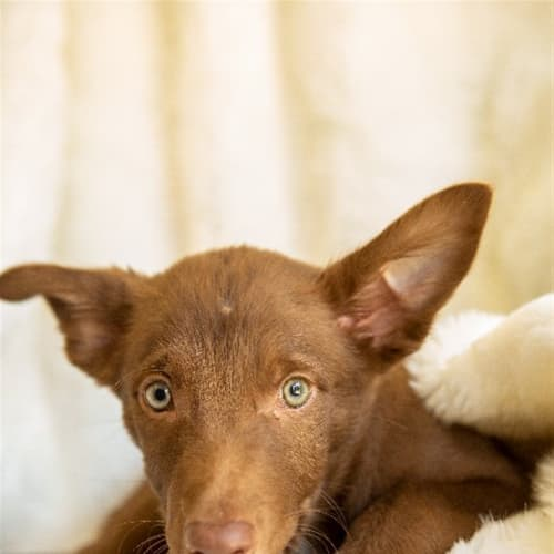 Cody - Border Collie x Kelpie Dog
