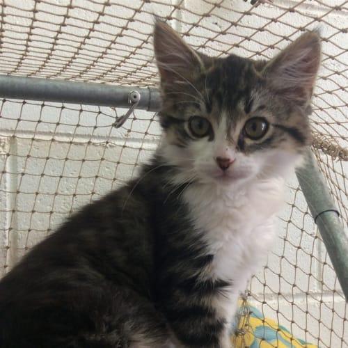 Tig - Domestic Medium Hair Cat