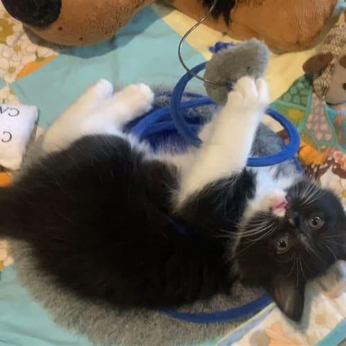 Zoe - Persian x Domestic Medium Hair Cat