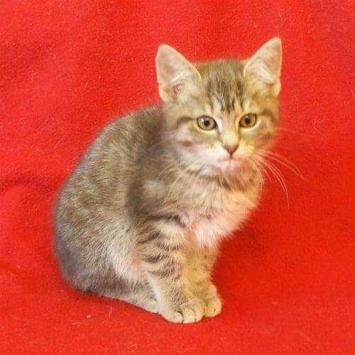 Lucinda - Domestic Short Hair Cat