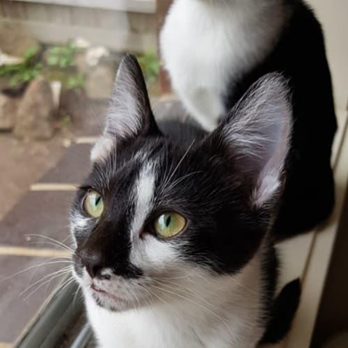 Snap - Domestic Short Hair Cat