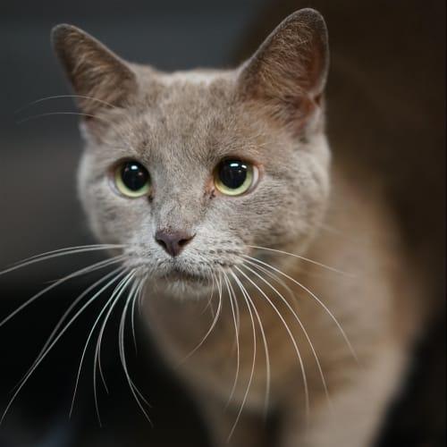 Booboo - Burmese Cat