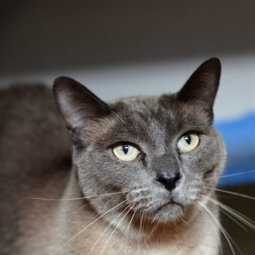 Solomon - Burmese Cat