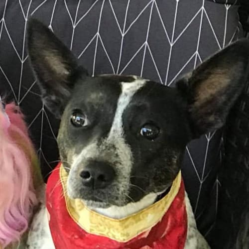 Zera  - Fox Terrier x Australian Cattle Dog