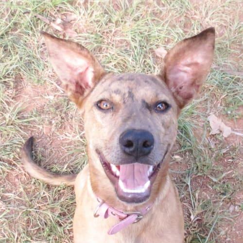 Bindi - Koolie Dog