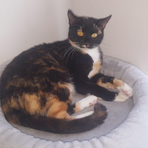 Gamorra  - Domestic Short Hair Cat