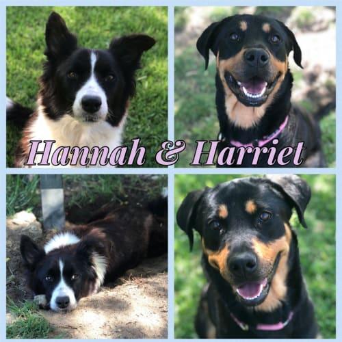 Hannah - Border Collie Dog
