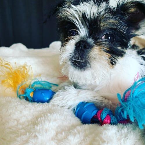 Snowie  - Shih Tzu Dog