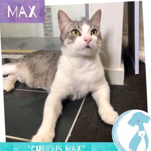 Max - Domestic Short Hair Cat