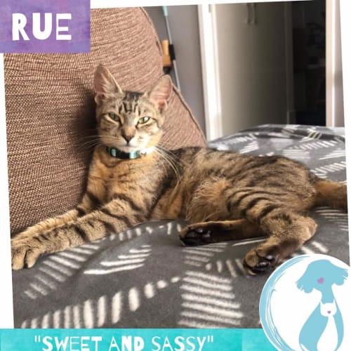 Rue - Domestic Short Hair Cat