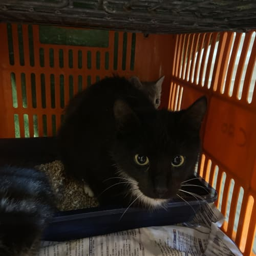 Blaire - Domestic Short Hair Cat