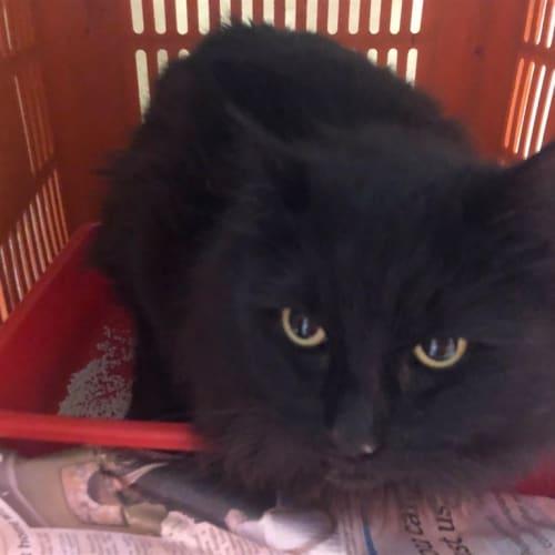 Annabelle - Domestic Medium Hair Cat
