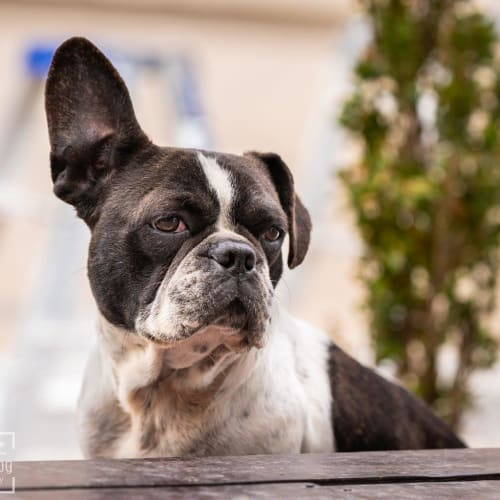 Pansy Wazowski - French Bulldog x Pug Dog