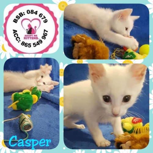Casper - Domestic Short Hair Cat
