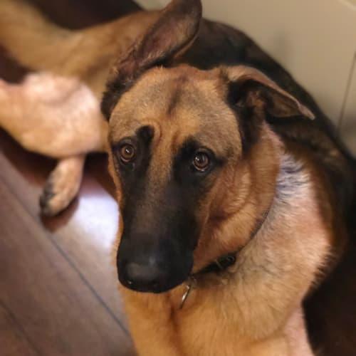Duke - German Shepherd Dog