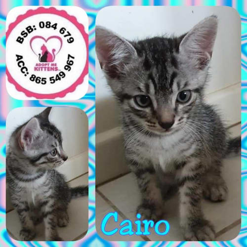 Cairo - Domestic Short Hair Cat