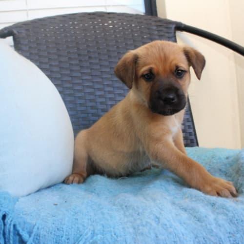 Beau NP0192 - American Staffordshire Terrier Dog