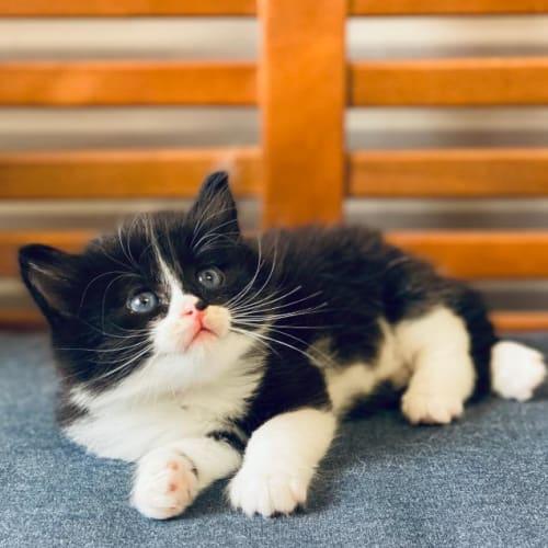 Amadeus - Domestic Medium Hair Cat