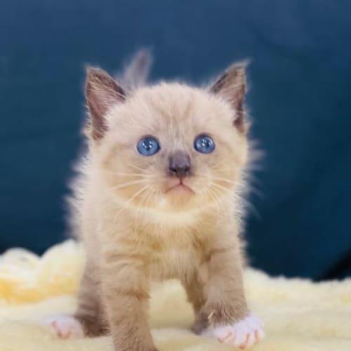 Maverick - Domestic Short Hair Cat