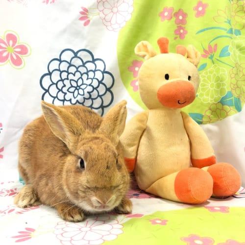 Sienna -  Rabbit