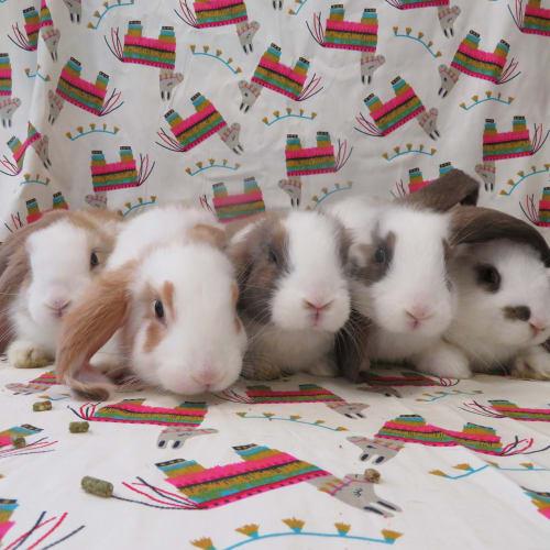 Missy's Babies -  Rabbit