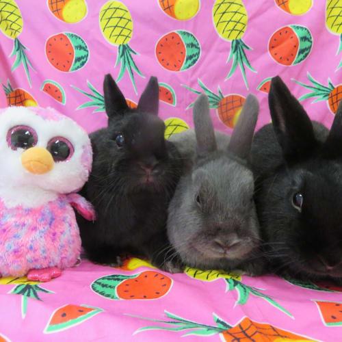 Bluebell, Poppy, Blossom -  Rabbit