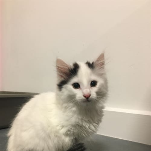 Marshmallow - Dmh Cat