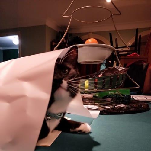 Oreo - Domestic Short Hair Cat