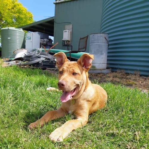 Texah - American Staffordshire Bull Terrier Dog