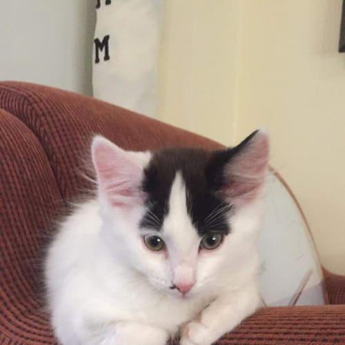 Speck  - Domestic Medium Hair Cat