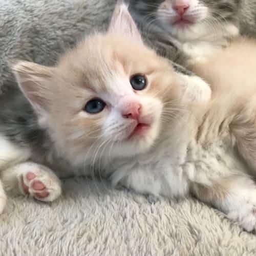 Haloumi  - Domestic Medium Hair Cat