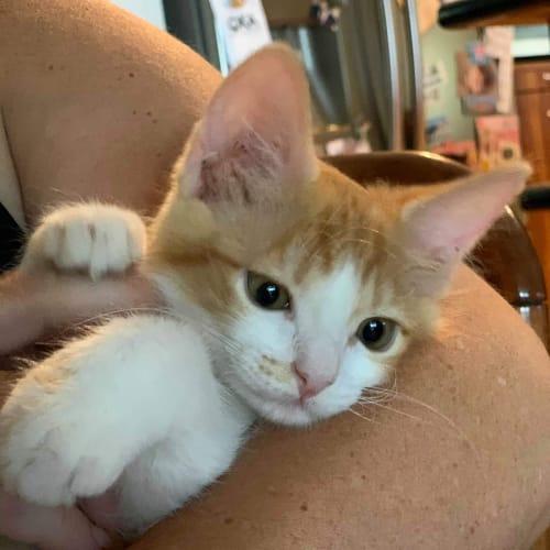 Copper - Domestic Short Hair Cat