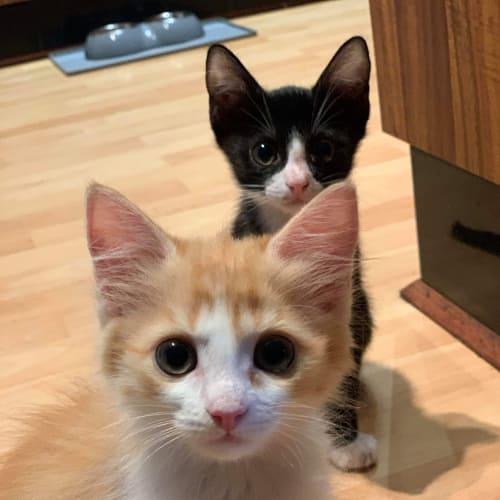 Peni - Domestic Short Hair Cat
