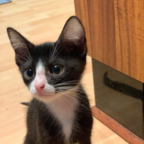 Zippy - Domestic Short Hair Cat