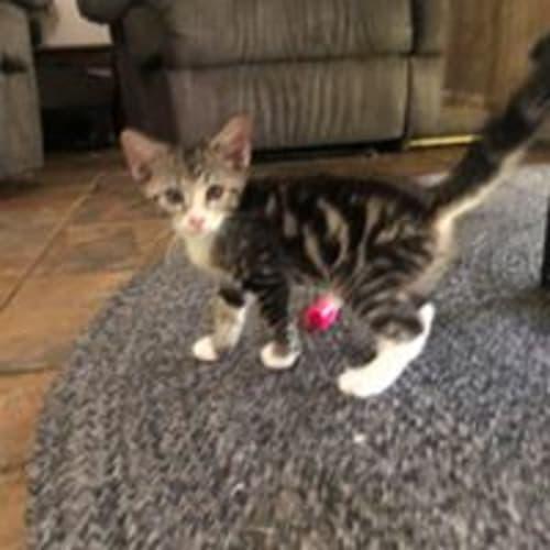Noddy - Domestic Short Hair Cat