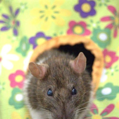 Soy -  Rat