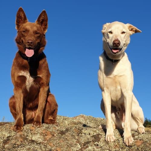 Archie & Mia  - Kelpie Dog