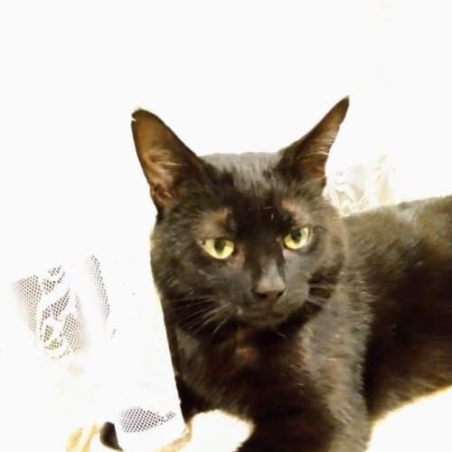 Batman - Located in Mitcham - Domestic Short Hair Cat