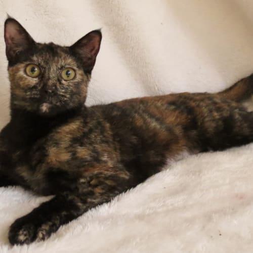 Lena - Domestic Short Hair Cat