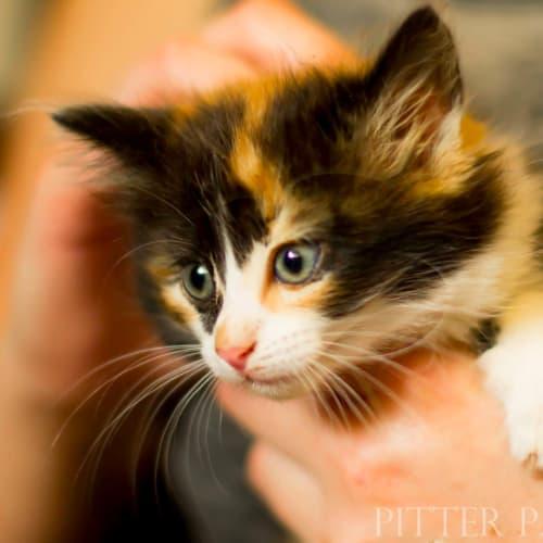 Chloe NK4070 - Domestic Medium Hair Cat