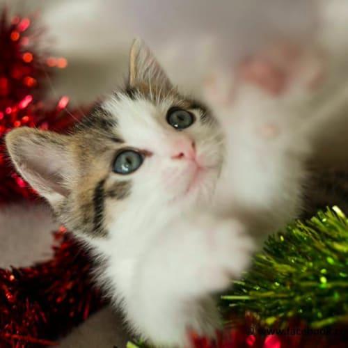 Kit Cat NK4084 - Domestic Short Hair Cat
