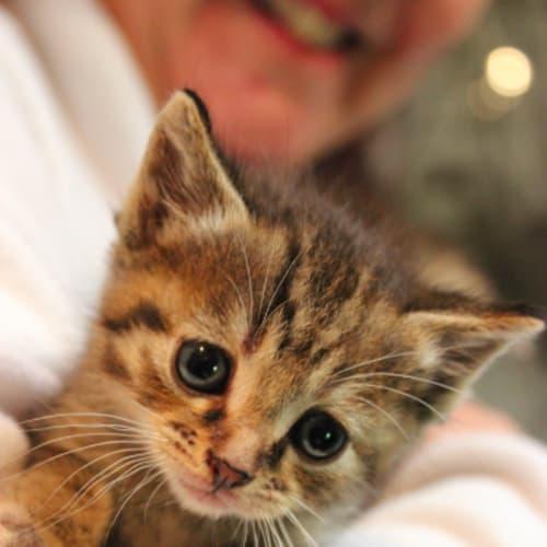 Jas Purr NK4082 - Domestic Short Hair Cat