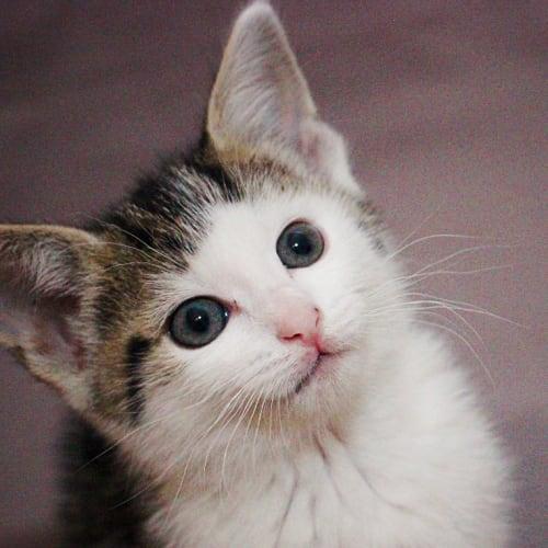 Fuzz Aldrin NK4081 - Domestic Short Hair Cat