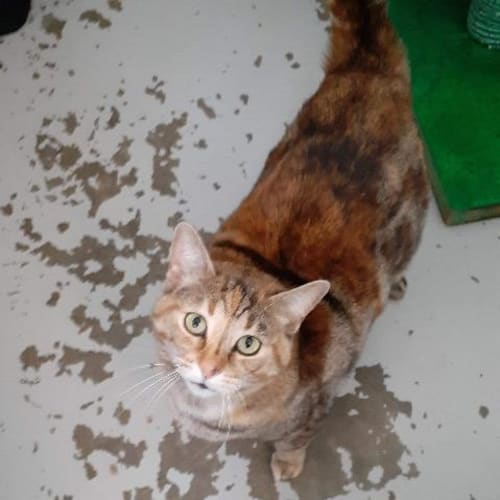 Kasey - Domestic Short Hair Cat