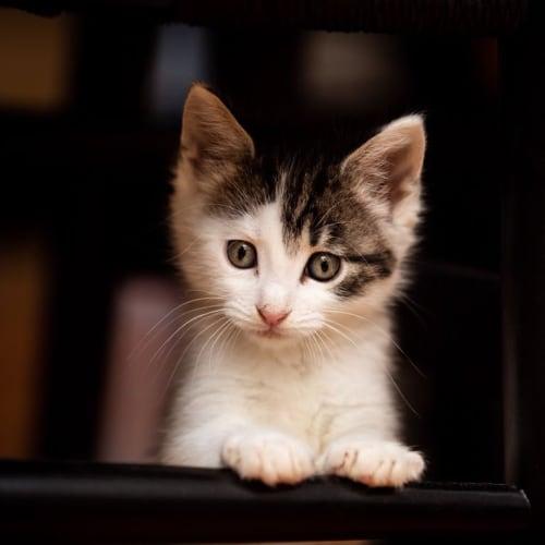 Leonard - Domestic Short Hair Cat
