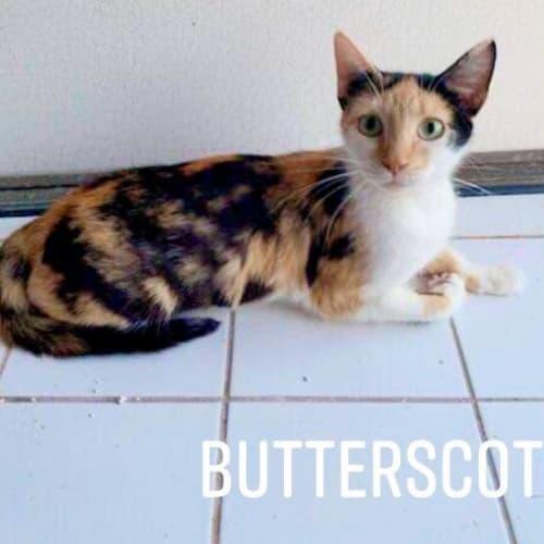 Butterscotch - Domestic Short Hair Cat