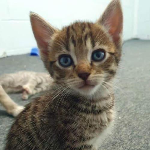 Ragnar - Domestic Short Hair Cat